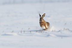 Dziki królika bieg w śniegu zdjęcie royalty free