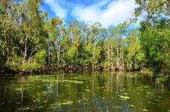 Dziki krajobraz gumowi drzewa r na rzecznej lagunie w Queensland Zdjęcia Royalty Free