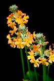 Dziki kwiat, żółty dziki kwiat Zdjęcia Stock
