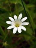 dziki kwiat Zdjęcia Stock