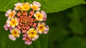 dziki kwiat Fotografia Royalty Free