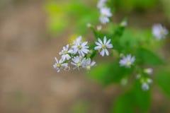 Dziki kwiat Appalachian góry Obraz Stock