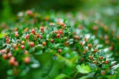 Dziki kwiat, czerwony dziki kwiat Obrazy Royalty Free