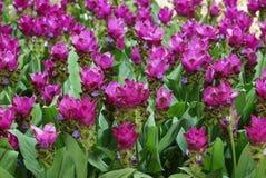 dziki kwiat pola Obrazy Royalty Free