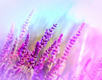 Dziki kwiat (purpurowy łąkowy kwiat) Obraz Royalty Free