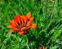 dziki kwiat rozkwita Fotografia Stock