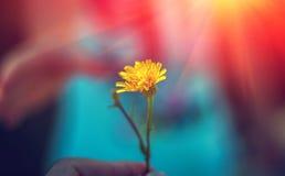 Dziki kwiat z miłością Romans przy zmierzchem Zdjęcia Stock