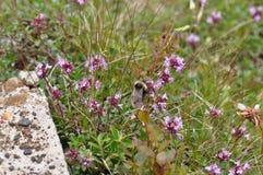 Dziki kwiat z trzmielem Fotografia Royalty Free