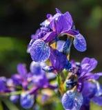Dziki kwitnący purpurowy irys w wiośnie Obrazy Royalty Free
