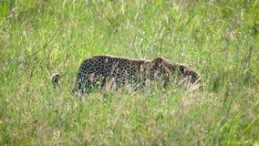 Dziki lamparta odprowadzenie i chować w wysokiej trawie Afrykańska sawanna zbiory
