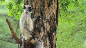Dziki Langur obsiadanie Na drzewie zdjęcie wideo