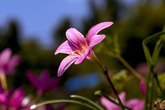 Dziki leluja kwiatu kwitnienie na ścianie fotografia royalty free