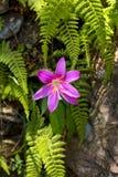 Dziki leluja kwiatu kwitnienie na ?ciany i obw?dki zieleni opuszcza zdjęcia stock
