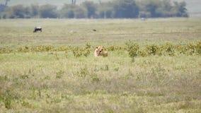 Dziki lew Kłama Na trawie sawanna Na Gorącym dniu Z skutkiem mgiełka zdjęcie wideo