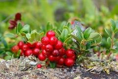 Dziki lingonberry krzaka zakończenie up Obrazy Royalty Free