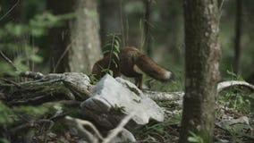 Dziki lis jest chodzący daleko od zdjęcie wideo