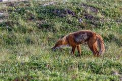 Dziki lis przy Kamchatka parkiem narodowym Zdjęcie Stock