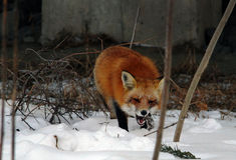 Dziki lis w parku Fotografia Royalty Free