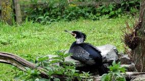 Dziki męski kaczki obsiadanie zbiory