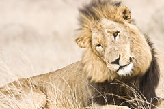 Dziki męski lew, Kruger park narodowy, Południowa Afryka Zdjęcia Royalty Free