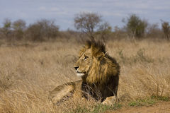 Dziki męski lew, Kruger park narodowy, Południowa Afryka Zdjęcia Stock
