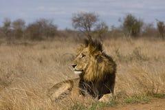 Dziki męski lew, Kruger park narodowy, Południowa Afryka Zdjęcie Stock