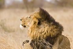 Dziki męski lew, Kruger park narodowy, Południowa Afryka Fotografia Stock