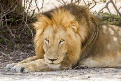 Dziki męski lew ma drzemkę w sawannie, w Kruger parku Fotografia Royalty Free