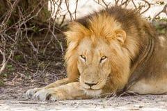 Dziki męski lew ma drzemkę w sawannie, w Kruger parku Zdjęcia Stock