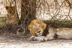 Dziki męski lew ma drzemkę w sawannie, w Kruger parku Fotografia Stock