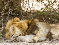 Dziki męski lew ma drzemkę w sawannie, w Kruger parku Zdjęcie Stock