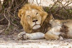 Dziki męski lew ma drzemkę w sawannie, w Kruger parku Zdjęcia Royalty Free