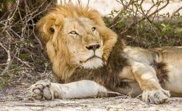 Dziki męski lew ma drzemkę w sawannie, w Kruger parku Obrazy Stock