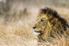 Dziki męski lew w Kruger parku narodowym, Południowa Afryka Obraz Royalty Free