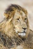 Dziki męski lew w Kruger parku, Południowa Afryka Zdjęcie Royalty Free