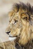 Dziki męski lew w Kruger parku, Południowa Afryka Obraz Stock