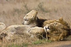 Dziki męski lwa dosypianie, Kruger park narodowy, Południowa Afryka Obraz Royalty Free
