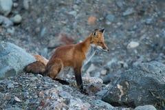 Dziki młody czerwony lis w naturalnym położeniu przy półmroku północnego zachodu terytorium Fotografia Royalty Free