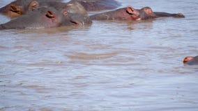 Dziki Młody hipopotam Wchodzić Na Górę Od Wodnych Śmiesznych potrząśnięć Jego nury I ucho zbiory