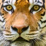 Dziki Młody Tygrysi portret zdjęcie stock