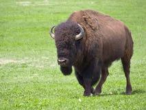 Dziki męski bizon Obrazy Royalty Free
