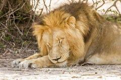 Dziki męski lwa dosypianie w sawannie, w Kruger parku Obraz Royalty Free
