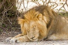 Dziki męski lwa dosypianie w sawannie, w Kruger parku Zdjęcie Stock