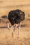 Dziki męski strusi odprowadzenie na skalistych równinach Afryka z bliska Fotografia Stock