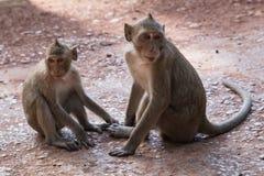 Dziki małpuje wokoło Prasat Bayon świątynię w Angkor Thom kompleksie Zdjęcia Stock