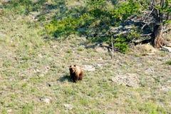 Dziki mały Brown niedźwiedź, Ursus arctos w górę wzgórza, zdjęcia royalty free