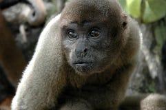Dziki Małpi Brazylia obrazy royalty free
