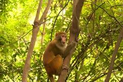 dziki małpi rhesus Zdjęcia Royalty Free