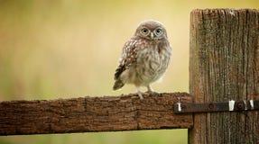 Dziki mały owlet Obraz Stock
