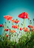Dziki maczek kwitnie na lato łące szczegółowy rysunek kwiecisty pochodzenie wektora Fotografia Stock